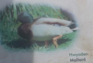 Mallard => Ducky - alles klar?
