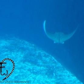 Wie die Rochen im großen Haibecken davonschweben...