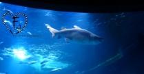 Sandtigerhai Nikki lebte ursprünglich in Berlin...